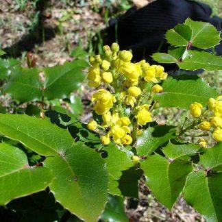 Vand Mahonia Aquifolium