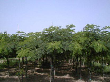 Vand Arbore de matase - Albizia Julibrissin- disponibil in primavara
