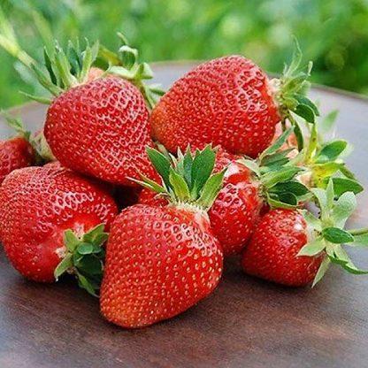 Stoloni de căpșuni soiurile Joly şi Clery