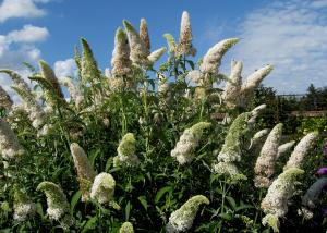 Vand Arbore de Liliac De Vara - Buddleja davidii- disponibil in primavara
