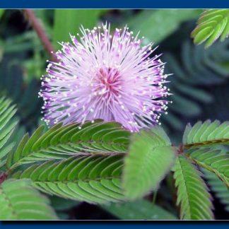 Vand Mimosa pudica – Mimoza- disponibil in primavara
