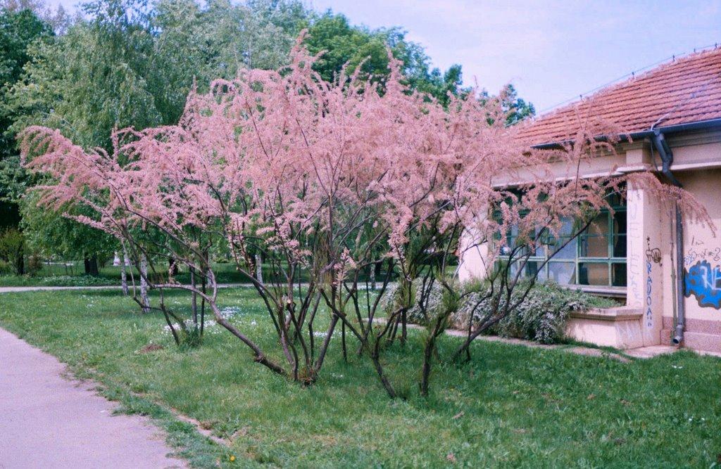 Vand Catina Rosie - Tamarix ramosissima